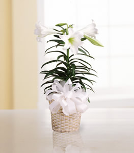 Easter Lily Plant Flower Petal Com Tampa Florists